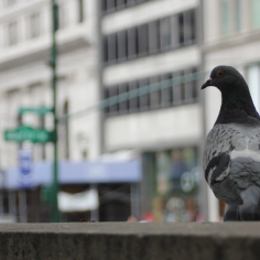 A pigeon I feed outside of The library behind Bryant Park.