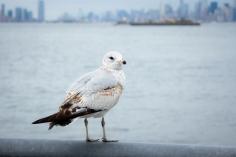 Staten Island Seagul
